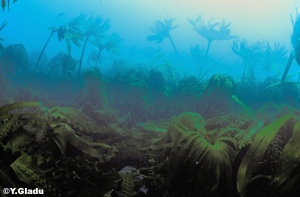 Forêts stratifiées de laminaires
